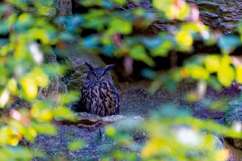 Premium Textil-Leinwand 75 cm x 50 cm quer Waldkauz im Tierfreig - zum Schließen ins Bild klicken