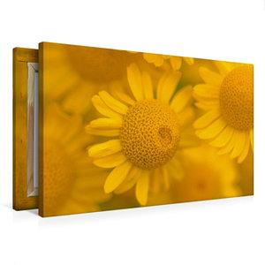 Premium Textil-Leinwand 75 cm x 50 cm quer Gelbe Mageriten