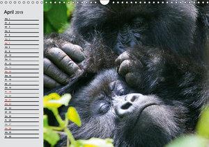 Berggorillas - die sanften Riesen (Wandkalender 2019 DIN A3 quer