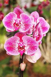 Premium Textil-Leinwand 30 cm x 45 cm hoch Phalaenopsis-Orchidee
