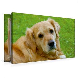 Premium Textil-Leinwand 75 cm x 50 cm quer Hundeportrait - Golde