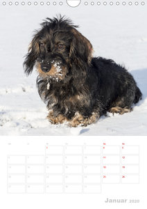 Der Dackel (M)ein treuer Weggefährte (Wandkalender 2020 DIN A4 h