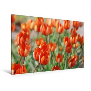 Premium Textil-Leinwand 120 cm x 80 cm quer Tulipa whittallii od