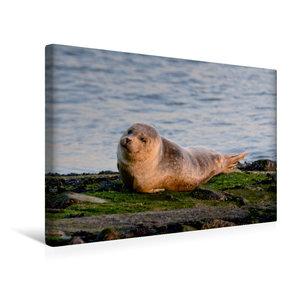 Premium Textil-Leinwand 45 cm x 30 cm quer Kleiner Seehund an de