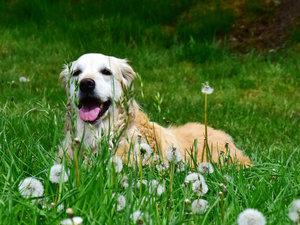 CALVENDO Puzzle Eine treue Hundeseele: Der Golden Retriever 1000