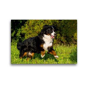 Premium Textil-Leinwand 45 cm x 30 cm quer Berner Sennenhund auf