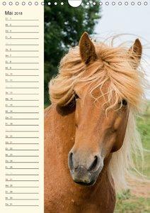 Islandpferde Geburtstagskalender