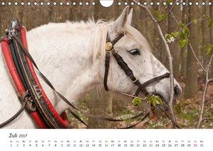 Kaltblut - schwere Pferde mit Herz