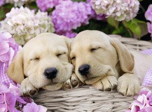 Süße Hunde im Körbchen