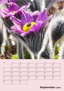 Küchenschellen Pulsatilla (Wandkalender 2020 DIN A2 hoch)