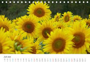 Sonnenblumen 2020