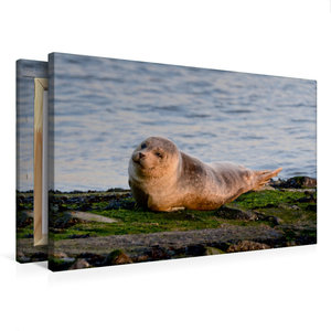Premium Textil-Leinwand 75 cm x 50 cm quer Kleiner Seehund an de