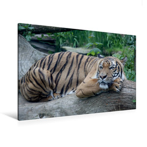 Premium Textil-Leinwand 120 cm x 80 cm quer Malaysischer Tiger
