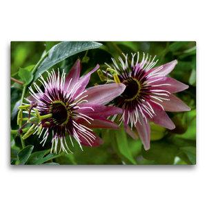 Premium Textil-Leinwand 75 cm x 50 cm quer Passiflora x violacea