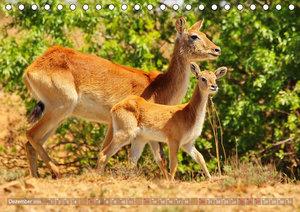 RED LECHWE Rote Sumpfantilope im Südlichen Afrika