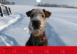 Airedale Terrier (Wandkalender 2019 DIN A4 quer)