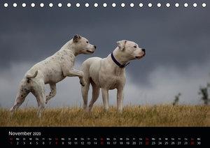 American Bulldog - stolz, loyal, einzigartig