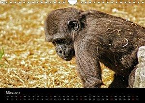 Gorillas - Die sanften Wilden