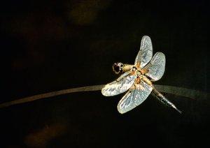 Die fabelhafte Welt der Libellen (Posterbuch DIN A3 quer)