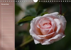 Delicate Beauties Magnificent Roses (Wall Calendar perpetual DIN