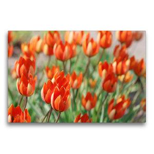 Premium Textil-Leinwand 75 cm x 50 cm quer Tulipa whittallii ode