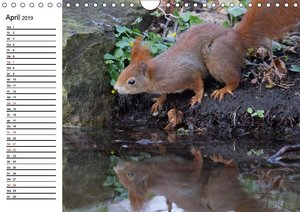 Guck mal, ein Eichhörnchen! (Wandkalender 2019 DIN A4 quer)