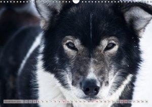 Alaskan Huskies