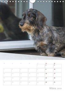 Der Dackel (M)ein treuer Weggefährte (Wandkalender 2019 DIN A4 h