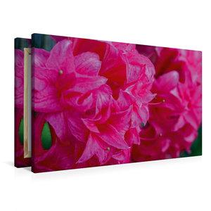 Premium Textil-Leinwand 90 cm x 60 cm quer Rosa Rhododendron