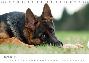 Junge Deutsche Schäferhunde
