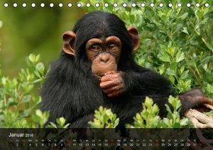 Menschenaffen. Gorillas, Schimpansen, Orang-Utans (Tischkalender