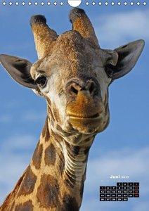 Giraffen - Afrikas Größen (Wandkalender 2017 DIN A4 hoch)
