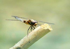 Die fabelhafte Welt der Libellen (Posterbuch DIN A4 quer)
