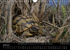 European Tortoises / UK-Version (Wall Calendar 2015 DIN A4 Lands