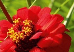 Miracle de fleur Zinnia (Livre poster DIN A3 horizontal)