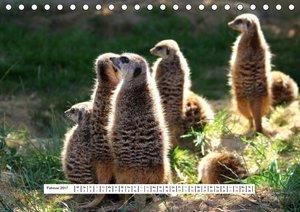 Erdmännchen - Die Kobolde im Tierreich