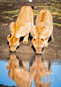 Löwen: prächtige Raubkatzen (Wandkalender 2016 DIN A3 hoch)