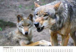 Wölfe 2017. Tierische Impressionen (Wandkalender 2017 DIN A2 que