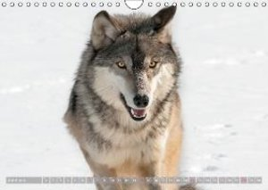 Wolves . Faces of social hunters (Wall Calendar 2015 DIN A4 Land