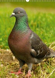 Die Welt der Tauben (Posterbuch DIN A3 hoch)