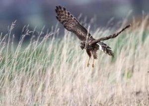 Harriers - Birds of Prey (Poster Book DIN A3 Landscape)