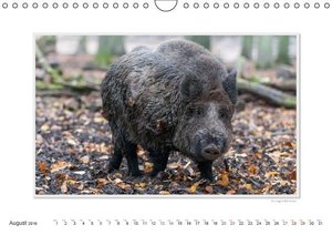 Emotional Moment: The Boar. UK-Version (Wall Calendar 2016 DIN A