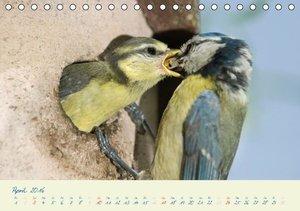 Elternzeit - das Familienleben der Blaumeisen (Tischkalender 201
