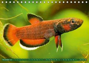 Glanz im Aquarium: Süßwasserfische (Tischkalender 2016 DIN A5 qu