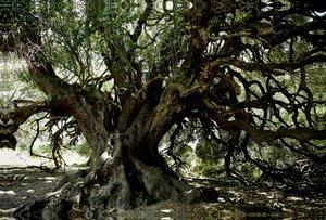 Premium Textil-Leinwand 120 cm x 80 cm quer Olivenbaum,2000Jahre