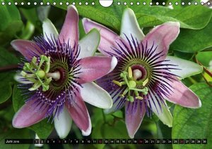Passiflora Passion - Welt der Passionsblumen (Wandkalender 2016