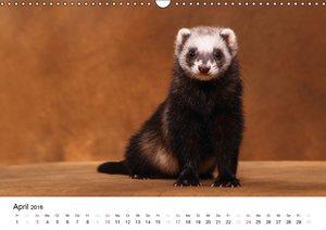 Frettchen - Ferrets (Wandkalender 2016 DIN A3 quer)