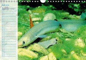 Fische - Leben im Fluss (Wandkalender 2016 DIN A4 quer)