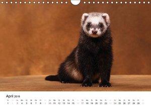 Frettchen - Ferrets (Wandkalender 2016 DIN A4 quer)