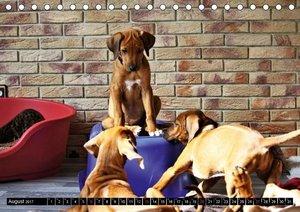 Rhodesian Ridgeback - Afrikanische Löwenhunde (Tischkalender 201